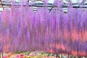 あしかがフラワーパーク 藤の花